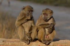 Chacma baboons (Papio ursinus) Royalty Free Stock Image