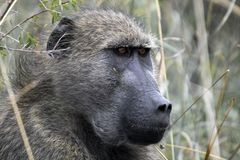 Chacma baboons (Papio ursinus) Royalty Free Stock Photo