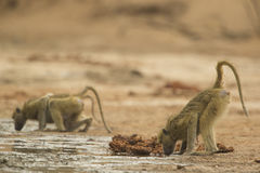 Chacma Baboons (Papio ursinus) drinking. From muddy spring Royalty Free Stock Image