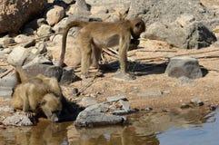 Chacma baboons (Papio ursinus). Stock Images