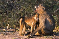 Chacma baboons (Papio ursinus). Stock Photography