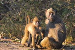 Chacma baboons (Papio ursinus). Royalty Free Stock Photo