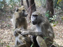 Chacma baboons. (Papio ursinus) in Zambia Royalty Free Stock Photos