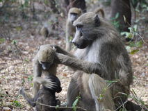 Chacma baboons. (Papio ursinus) in Zambia Royalty Free Stock Photo