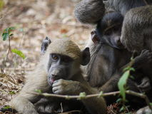 Chacma baboons. (Papio ursinus) in Zambia Stock Photos