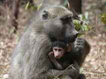 Chacma baboons Royalty Free Stock Photos