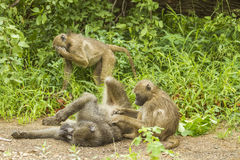 Chacma baboons playing in the bush in Kruger park Stock Image