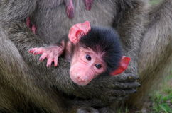 Chacma baboons. Portrait of a young chacma baboon Royalty Free Stock Photography