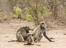 Chacma baboons in the river bank, kruger bushveld, Kruger national park, SOUTH AFRICA. Chacma baboons delousing, in river bank, Kruger national park, South Stock Image