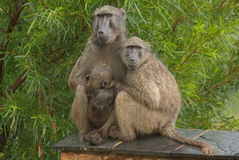 Chacma baboons. Sitting in the rain Stock Photo