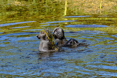 Chacma Baboons Swimming Royalty Free Stock Image