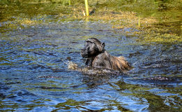 Chacma Baboons Swimming Stock Image