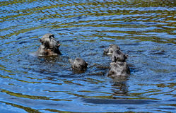 Chacma Baboons Swimming Stock Images