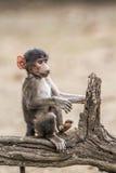 Chacma-Babypavian in Nationalpark Kruger, Südafrika Stockbilder