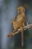 Chacma-Pavian-Baby, das in einem Baum sitzt Lizenzfreie Stockfotografie