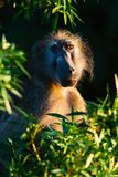Chacma-Pavian, der Sonne des frühen Morgens genießt Stockfotografie