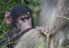Chacma-Pavian mit seiner Mutter Stockfoto