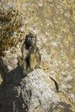 Chacma-Pavian in Nationalpark Kruger, Südafrika Stockbild