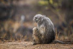 Chacma-Pavian in Nationalpark Kruger, Südafrika Stockfotografie
