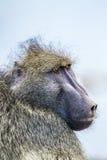 Chacma-Pavian in Nationalpark Kruger, Südafrika Lizenzfreie Stockfotografie