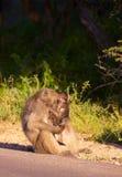 Chacma Pavian (Papio Cynocephalus) Lizenzfreies Stockfoto