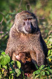 Chacma-Pavian (Papio Cynocephalus ursinus), Nationalpark Kruger, Südafrika Lizenzfreie Stockbilder