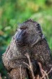 Chacma-Pavian (Papio Cynocephalus ursinus), Nationalpark Kruger, Südafrika Stockfotos