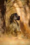 Chacma-Pavian, Papio hamadryas ursinus, Affe im Naturlebensraum, Victoria Falls, der Sambesi, Simbabwe Stockfotos