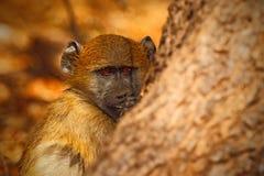 Chacma-Pavian, Papio hamadryas ursinus, Porträt des Affen im Naturlebensraum, Victoria Falls, der Sambesi, Simbabwe Lizenzfreie Stockfotos