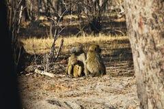 Chacma-Pavian, Papio ursinus griseipes, im Nationalpark Bwabwata, Namibia Stockfotos