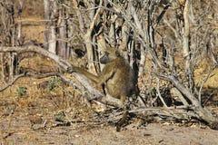 Chacma-Pavian, Papio ursinus griseipes, im Nationalpark Bwabwata, Namibia Stockbild