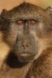 Chacma Pavian-Portrait Lizenzfreie Stockfotos