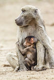 Chacma-Pavianfrau und -baby in Nationalpark Kruger, Südafrika Stockbilder