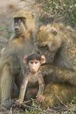 Chacma Pavianmutterpflegendes Schätzchen, Botswana Stockfotos