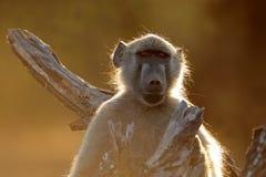 Chacma-Pavianporträt - Nationalpark Kruger Lizenzfreies Stockbild