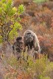 Chacma pawian, papio ursinus, Południowa Afryka Fotografia Stock