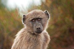 Chacma pawian, papio ursinus, Południowa Afryka Zdjęcia Stock