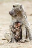 Chacma pawianu dziecko w Kruger parku narodowym i kobieta, Południowa Afryka Obrazy Stock