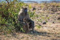 Chacma pawianu matka z dzieckiem obok krzaka Zdjęcie Royalty Free