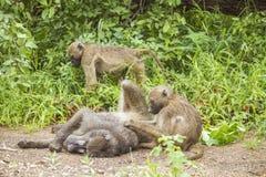 Chacma pawiany bawić się w krzaku w Kruger parku Fotografia Royalty Free