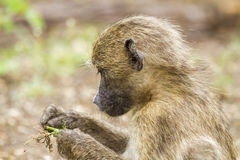 Chacma pawiany je w krzaku w Kruger parku Zdjęcie Royalty Free