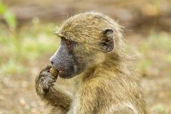 Chacma pawiany je w krzaku w Kruger parku Obrazy Stock