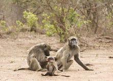 Chacma pawiany w brzeg rzeki, kruger bushveld, Kruger park narodowy, POŁUDNIOWA AFRYKA Obraz Stock