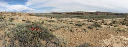 Chaco峡谷红色仙人掌 免版税图库摄影
