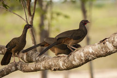 Chaco Chacalacas Perched on Branch Stock Photos