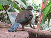 Chaco Chachalaca Royalty Free Stock Images