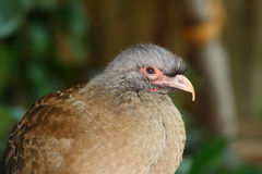 Chaco chachalaca,ortalis canicollis Royalty Free Stock Photography