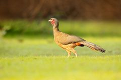 Chaco Chachalaca, Ortalis canicollis, ptak z otwartym rachunkiem, chodzi w zielonej trawie, Pantanal, Brazylia Ptak w natury sied Zdjęcia Stock