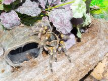 Chaco golden knee spider. Chaco golden knee Grammostola pulchripes tarantula in a terrarium stock images