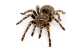Chaco Golden Knee Tarantula. (Grammostola aureostrista). A large somewhat docile  tarantula that will flick hairs if threatened Royalty Free Stock Images